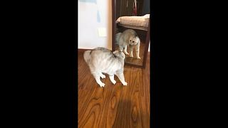 Confused cat bounces off mirror as it tries to fight its own reflection - Video