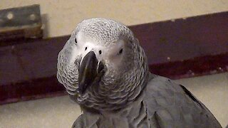 Very demanding parrot becomes overly pushy with owner