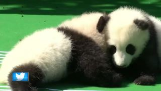Panda cubs and coffin challenge - Video