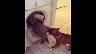 "Dog ""rescues"" stuffed animal from the dryer"
