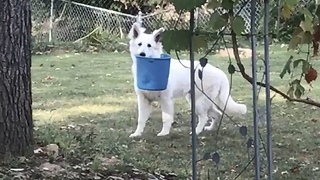 Guilty German Shepherd Gets Caught Red-Handed With A Bucket
