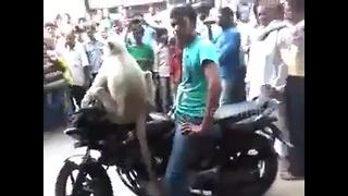 Taunted monkey takes biker rider hostage, blocks traffic - Video