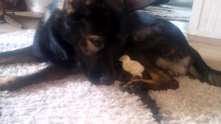 German Shepherd befriends abandoned turkey chick