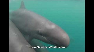 Pod of False Killer Whales Accompanies Tour Boat in California