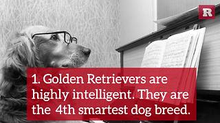 Fun Facts on the Golden Retriever | Rare Animals - Video