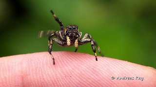 Cute little Jumping spider from Ecuador