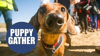 World record broken as over 600 sausage dogs gather on beach - Video