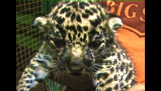 Five Gorgeous Jaguar Cubs - Video