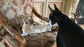 Cat Take Over Great Dane's Favorite Chair - Video