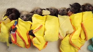 Baby Bat Burritos - Video