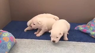 Samoyed puppies closely resemble polar bear cubs - Video
