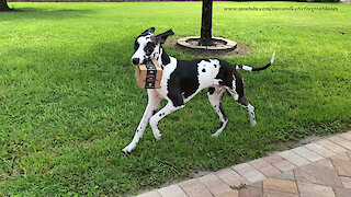 Happy Great Dane Loves To Deliver Amazon Prime Packages