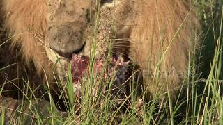 Hyenas steal lion's kill - Video