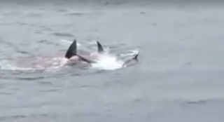 Killer Whales Spotted Hunting Seals off Shetland Coast - Video