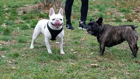 French bulldog has no interest in female frenchbulldog