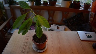 Grow your own avocado tree - It's this simple! - Video