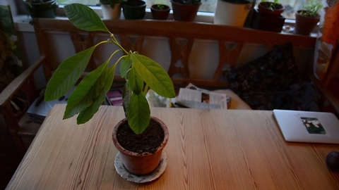 Grow your own avocado tree - It's this simple!