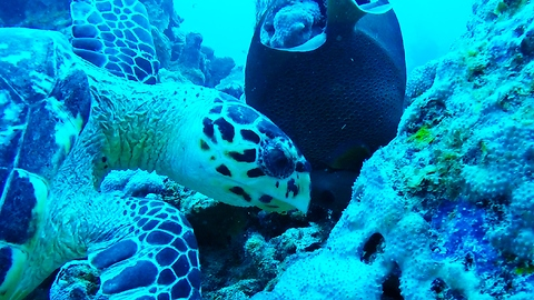 Favorite meal of critically endangered Hawksbill sea turtle