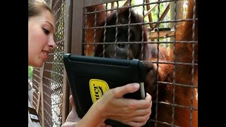 Orangutans Use iPads - Video
