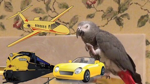 Experienced parrot is no stranger to different modes of transportation