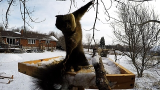 Dizzy Squirrel Keels Over While Trying To Watch Circling Crows - Video
