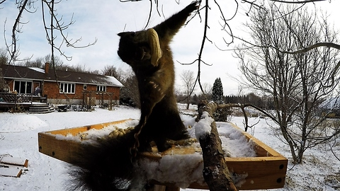 Dizzy Squirrel Keels Over While Trying To Watch Circling Crows