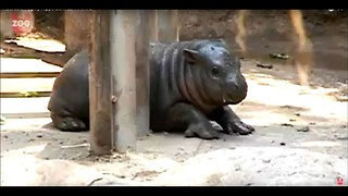 Adorable Baby Pygmy Hippo - Video