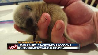 Man raises abandoned raccoons - Video