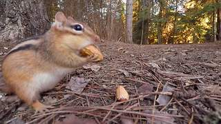 Hidden GoPro captures chipmunk feasting on peanuts