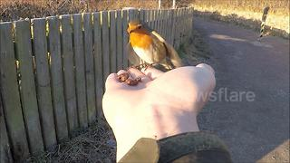 Robin eats from man's hand at Yorkshire nature reserve - Video