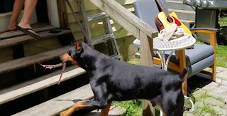 Doberman terrifies owner after catching venomous snake