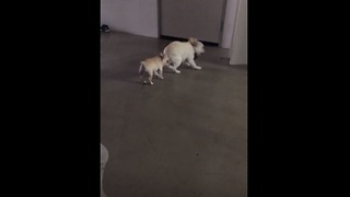 Bossy French Bulldog puppy annoys older brother - Video