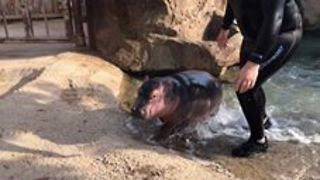 Cincinnati Zoo Visitors May Get Surprise Peeks at Baby Hippo - Video