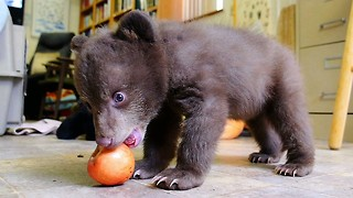Cute Black Bear Cub Hand Raised After Being Orphaned - Video