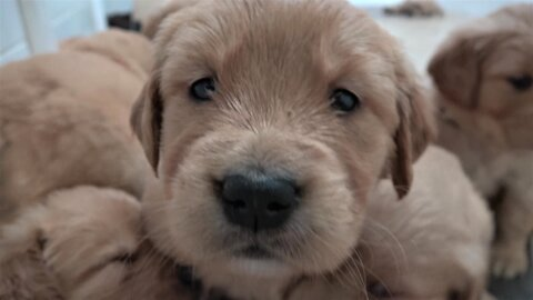 Golden Retriever puppies settle down for a nap in big, fluffy pile