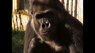 Gorilla Arrives At Zoo - Video