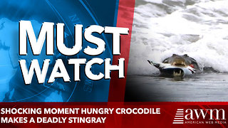 Shocking moment hungry CROCODILE makes a deadly STINGRAY - Video