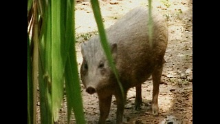 Pygmy Hogs Back In The Wild - Video