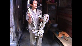 Pythons On The Loose! - Video