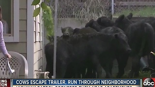 Cows escape trailer, run through neighborhood - Video