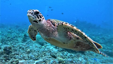 The most beautiful sea turtle in the ocean is the critically endangered hawksbill