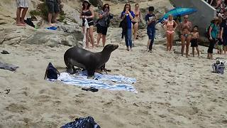 Hungry sea lion chases terrified people off the beach - Video