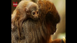 Baby Titi Monkey - Video
