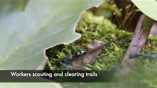 Ant Colony Keeps Busy Clearing Trails - Video