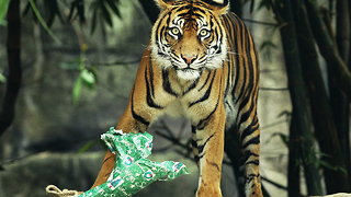 Animals Open Christmas Presents at London Zoo - Video