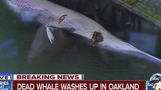 Dead whale washes up in Oakland - Video