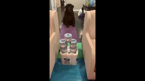 Huge Newfie attempts the toilet paper challenge
