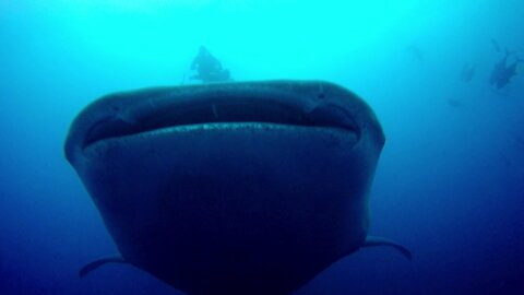 Gigantic whale shark swims right over scuba diver