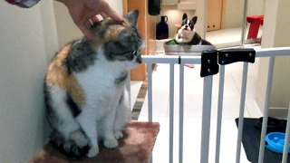 Pixel the French Bulldog is extremely jealous of family cat