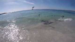 Curious Stingray Chases Cameraman at Hamelin Bay - Video